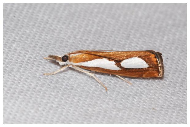 foto's, Egale vlakjesmot (Catoptria pinella), nachtvlinder