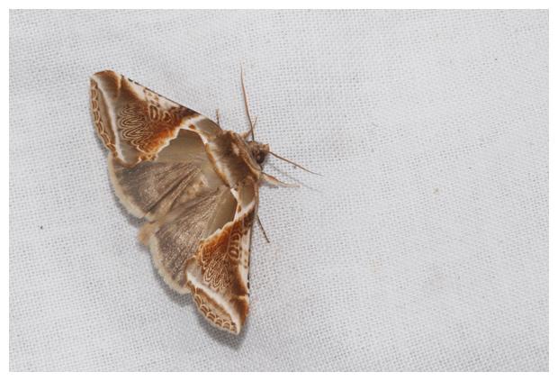 foto's, Vuursteenvlinder (Habrosyne pyritoides), vlinder