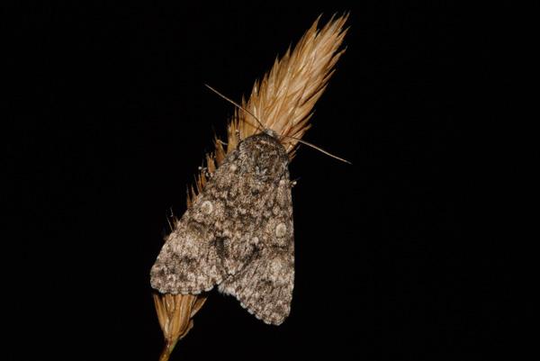 foto´s, Schilddrager (Subacronicta megacephala), nachtvlinder