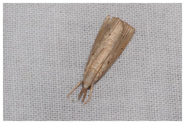 foto's, Lisdoddesnuitmot (Calamotropha paludella), nachtvlinder