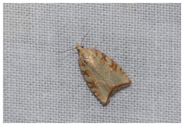 foto's, Zonnesproetbladroller (Aleimma loeflingiana), nachtvlinder