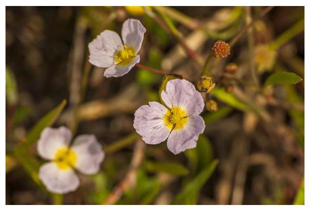 foto´s, Stijve moerasweegbree (Baldellia ranunculoides subsp. ranunculoides), waterplant