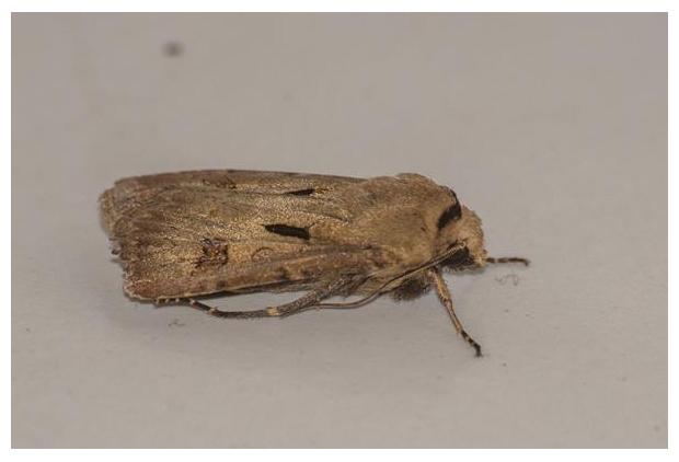 foto´s, Gewone worteluil (Agrotis exclamationis), nachtvlinder