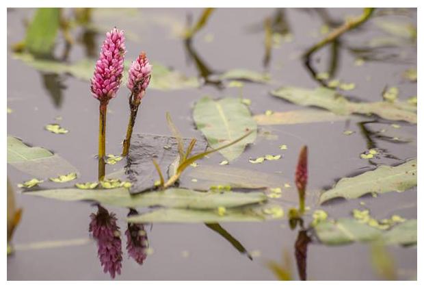 foto's, Veenwortel (Persicaria amphibia), waterplant