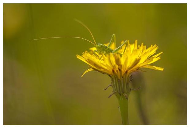 foto's, Gewoon biggenkruid (Hypochaeris radicata)