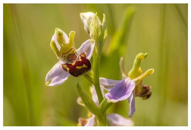 foto´s, Bijenorchis (Ophrys apifera), orchidee