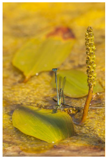foto's, Fonteinkruid (Potamogeton), waterplant