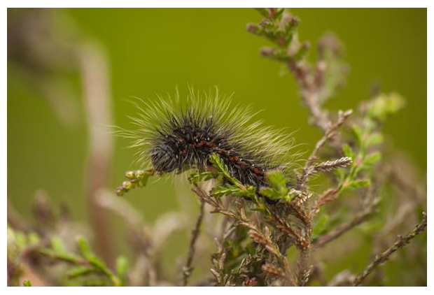 foto's, Veenheide-uil (Acronicta menyanthidis), rups, nachtvlinder