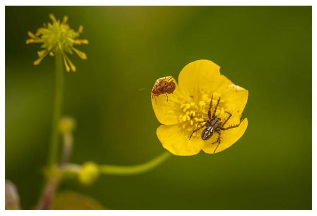 foto's, Heidewielwebspin (Neoscona adianta), spin