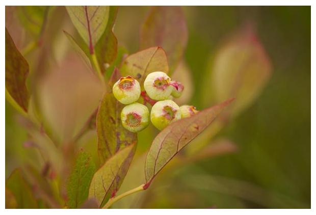 foto's, Trosbosbes (Vaccinium corymbosum), blauwe bes, struik