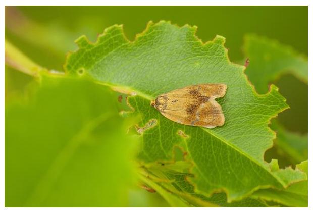 foto's, Koraalbladroller of Geelbuikbladroller (Ptycholoma lecheana), nachtvlinder