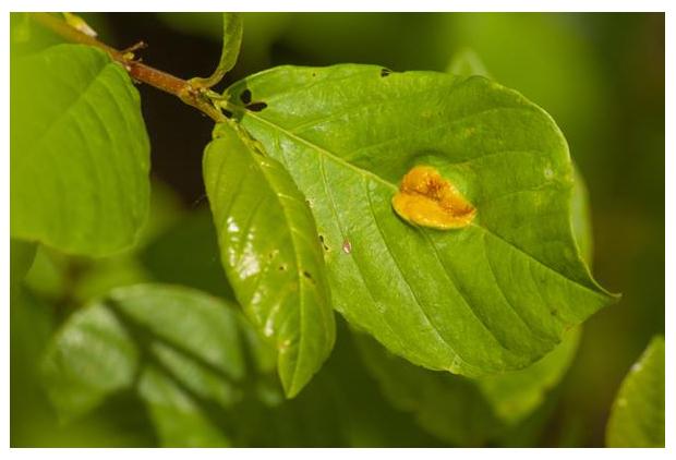 foto's, Kroonroest (Puccinia coronata), roest op sporkehout (Frangula alnus)