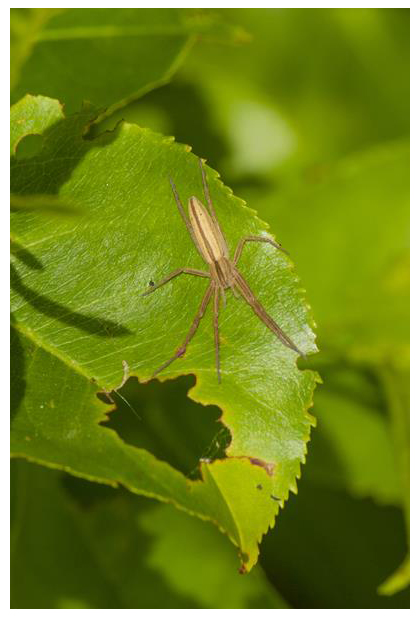 foto's, Gewone sprietspin (Tibellus oblongus), spin