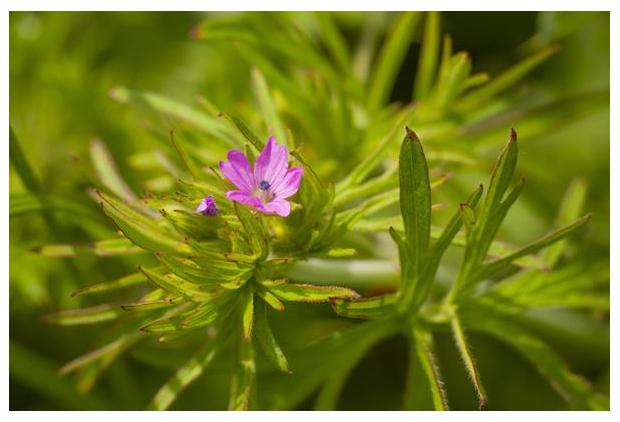 foto's, Slipbladige ooievaarsbek (Geranium dissectum), plant