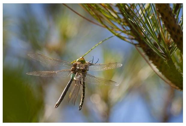 foto's, Zuidelijke keizerlibel (Anax parthenope), libel