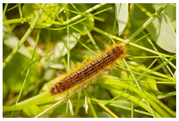 foto's, Heideringelrups (Malacosoma castrensis), nachtvlinder