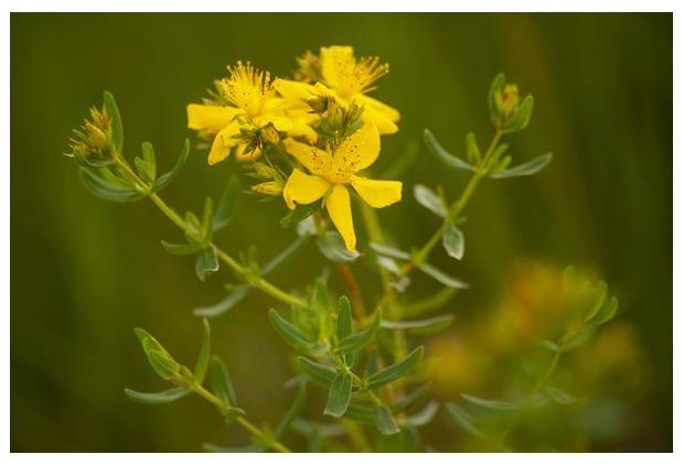 foto's, Sint-janskruid (Hypericum perforatum), plant
