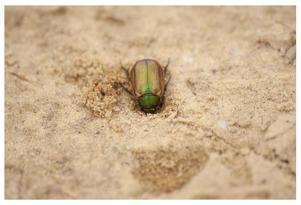 foto's, Kleine julikever (Anomala dubia), groen metaalachtige kever