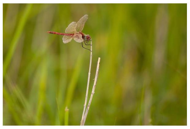 foto's, Zwervende heidelibel (Sympetrum fonscolombii), libel