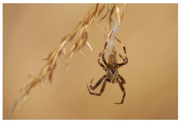 foto's, Schouderkruisspin (Araneus angulatus), spin