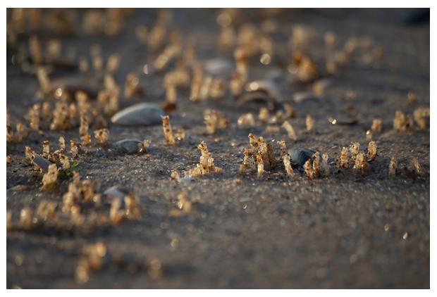 foto's, Schelpkokerworm (Lanice conchilega)