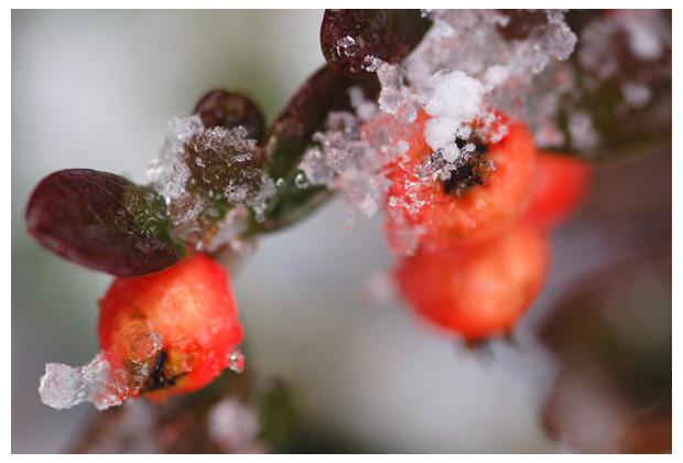 foto's, Rotsmispel (Cotoneaster), heester