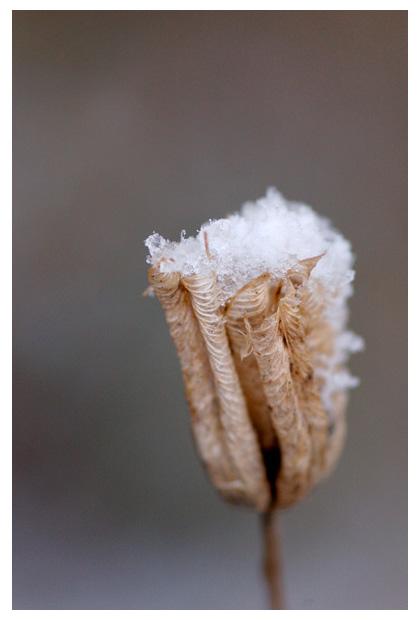 foto's, Akelei (Aquilegia), bloem