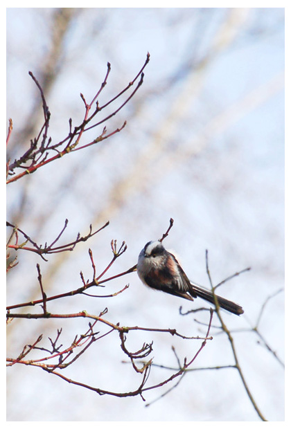 Staartmees (Aegithalos caudatus), vogel