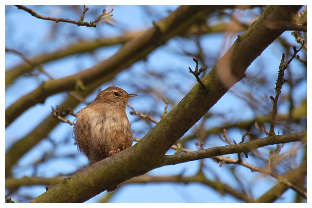foto's Winterkoning (Troglodytes troglodytes), vogel