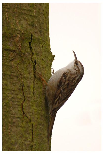 foto´s,  Boomkruiper (Certhia brachydactyla), vogel