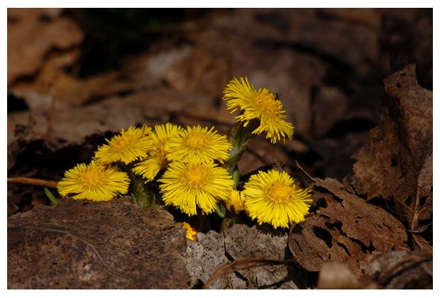 klein hoefblad (tussilago farfara), composieten (asteraceae), gele, vaste, naaktbloeier