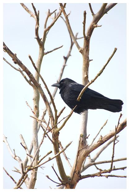 foto's, Zwarte kraai (Corvus corone), vogel