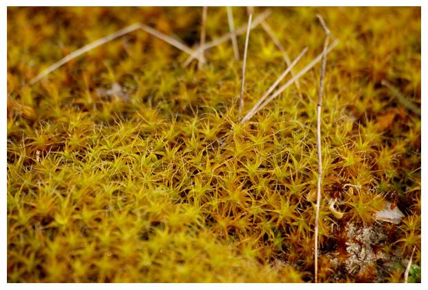 foto's, Groot duinsterretje (Syntrichia ruralis var. arenicola)