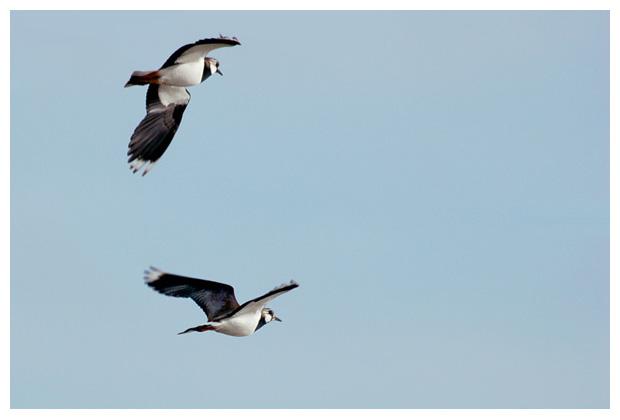 foto's, Kievit (Vanellus vanellus) , vogel