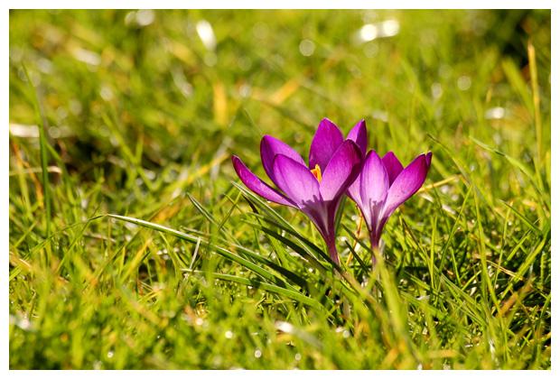 bonte krokus (crocus vernus), lissenfamilie (iridaceae), wild bolgewas, doosvrucht, paarsachtig violet,