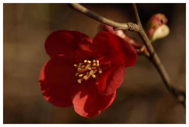 foto's, Japanse sierkwee (Chaenomeles japonica), struik