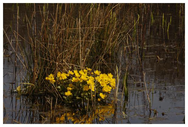 foto's, foto's, Gewone dotterbloem (Caltha palustris subsp. palustris)