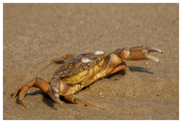 foto's, Strandkrab (Carcinus maenas), krab