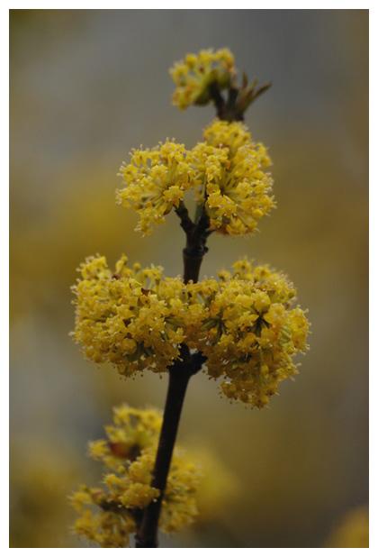 foto's, Gele kornoelje (Cornus mas), heester
