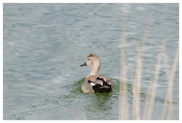 foto's, Krakeend (Anas strepera), eend