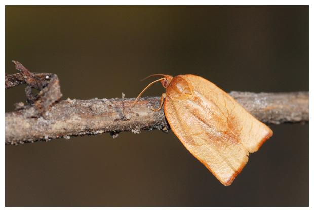 foto's, Tuinbladroller (Clepsis consimilana), nachtvlinder