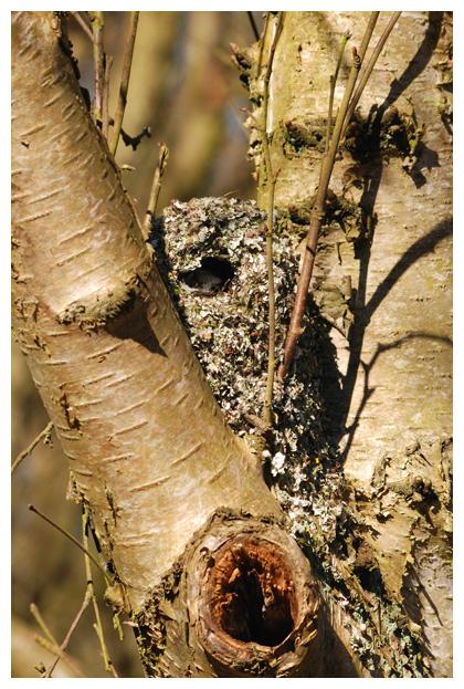 foto nest Staartmees (Aegithalos caudatus), vogel