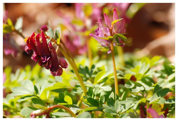 foto´s Vingerhelmbloem (Corydalis solida)