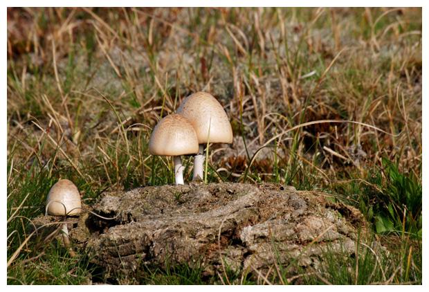 foto´s, Geringde vlekplaat (Panaeolus fimiputris), paddenstoel