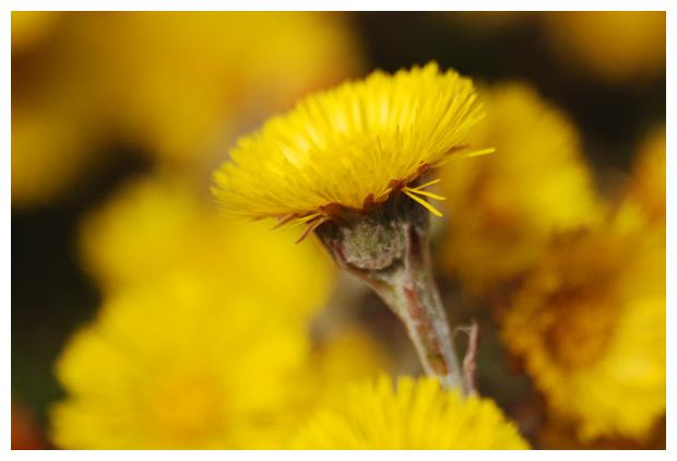 foto's, Klein hoefblad (Tussilago farfara), plant