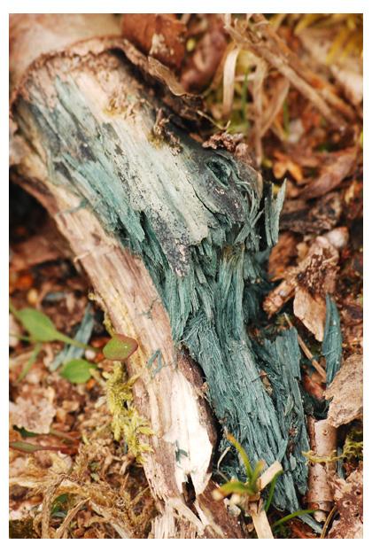 foto's, Gewone kopergroenbekerzwam (Chlorociboria aeruginascens), paddenstoel
