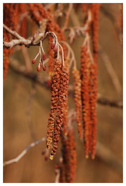 foto's, Zwarte els (Alnus glutinosa), boom