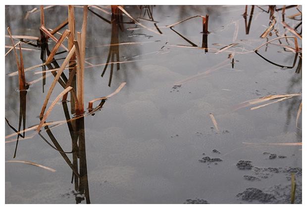 foto's, Bruine kikker (Rana temporaria), kikkerdril