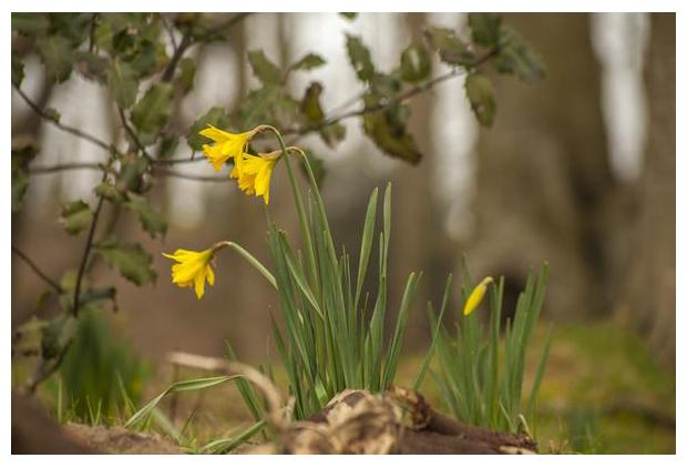 foto´s, Narcis (Narcissus), bloembol