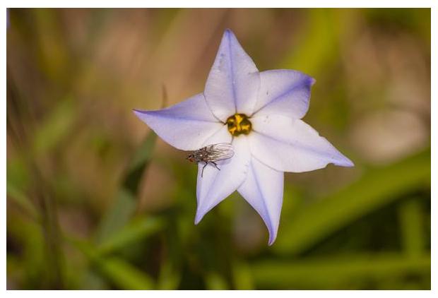 foto's, Voorjaarsster (Ipheion uniflorum), plant